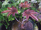 copper fig leaf fountain- by Gary Pickles of Metallic Garden