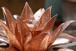 copper water lily flower